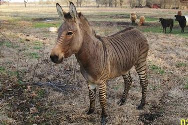 That's a Zedonk, a donkey-zebra hybrid. This is what happens when you leave the Blue Bomber BoD in charge.